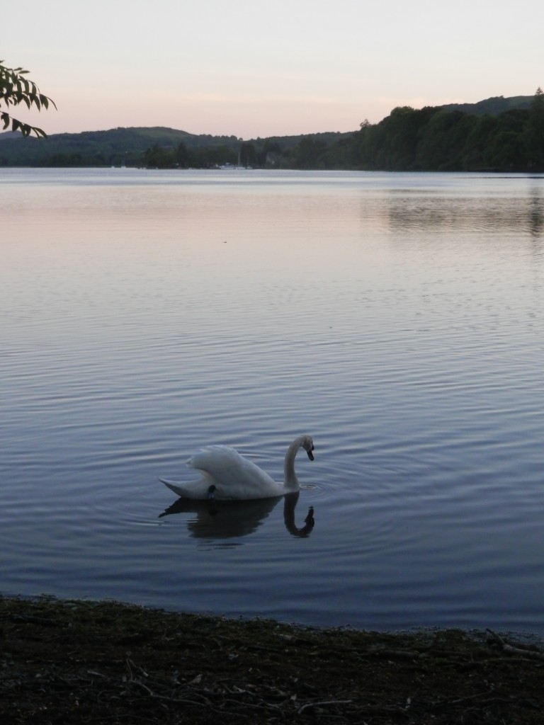 Swan on Coniston Water